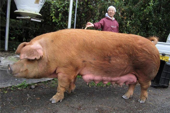 酒井さんちの「日南赤豚」